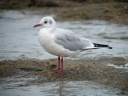 MOUETTE RIEUSE4804