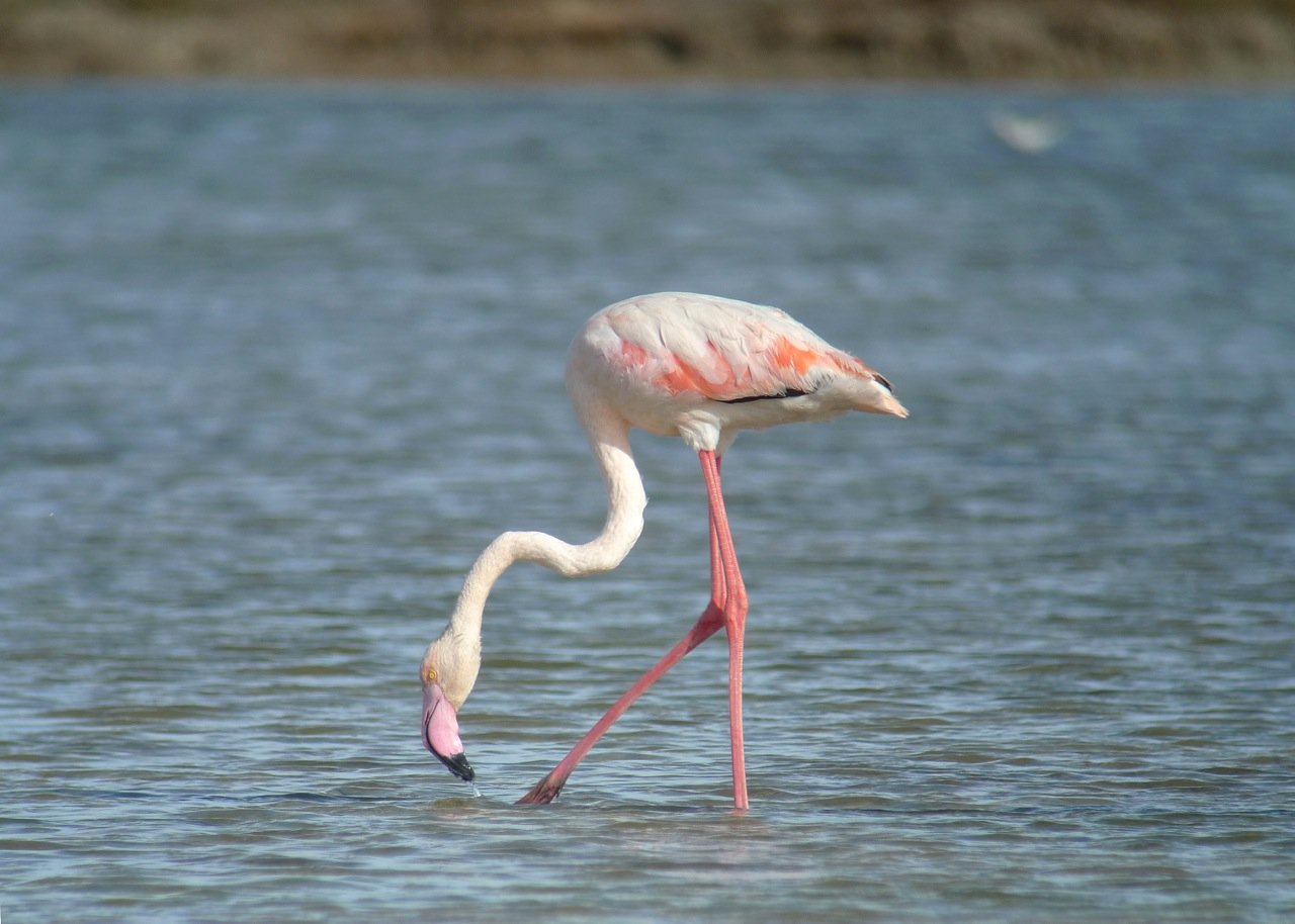 FLAMANT_ROSE1220663.jpeg