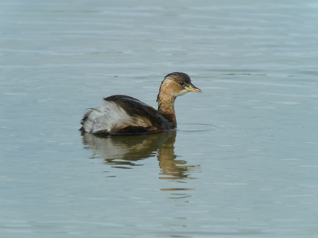 GREBE_CASTAGNEUX1090301.jpg