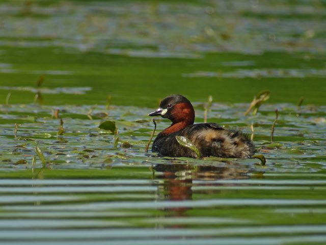GREBE_CASTAGNEUX3143.jpg