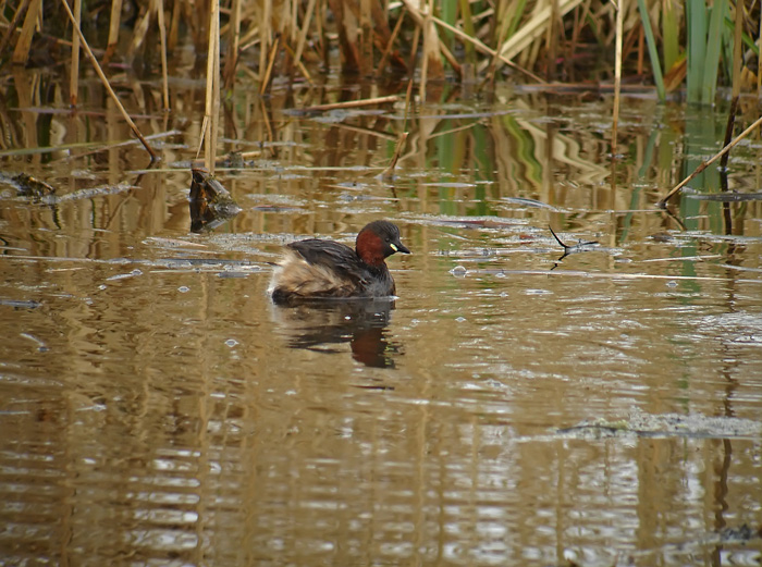GREBE_CASTAGNEUX8246.jpg