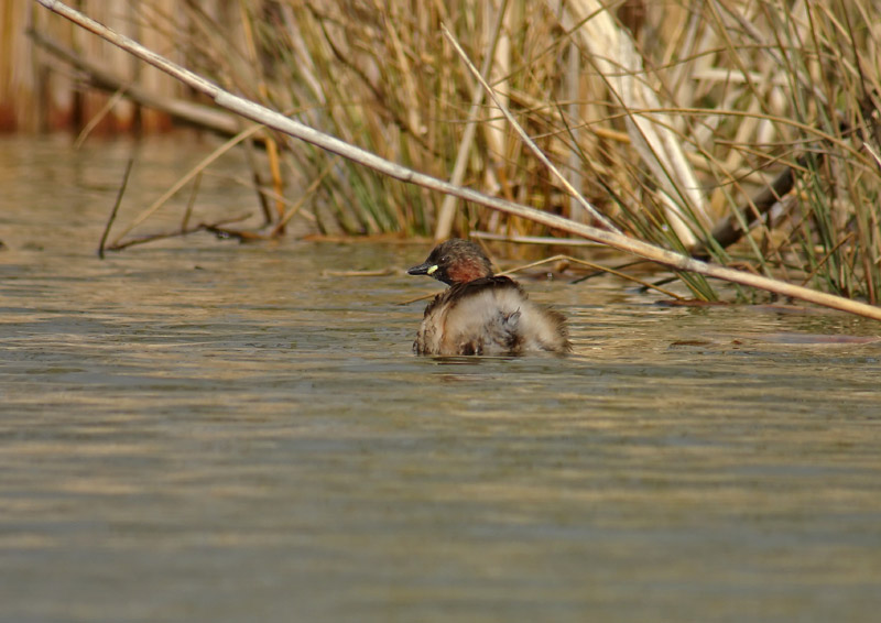 GREBE_CASTAGNEUX8444.jpg