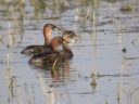 GREBE-CASTAGNEUX1685