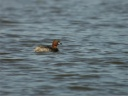 GREBE-CASTAGNEUX5466
