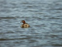 GREBE-CASTAGNEUX5467