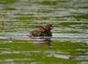 GREBE CASTAGNEUX2772
