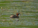 GREBE CASTAGNEUX3208