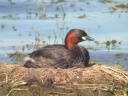 GREBE CASTAGNEUX5167