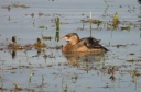 GREBE CASTAGNEUX6566
