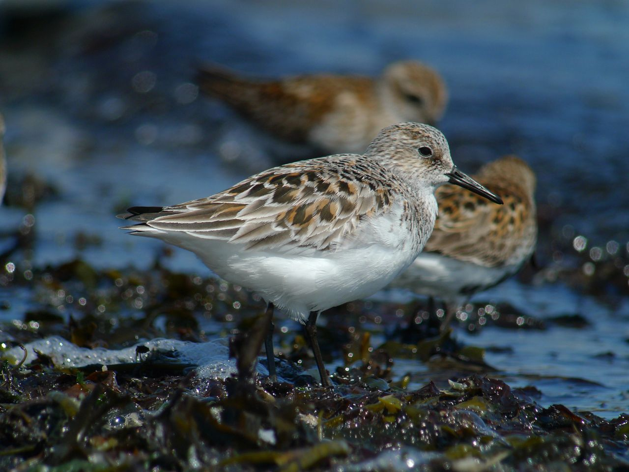 BECASSEAU_SANDERLING1120618.jpg