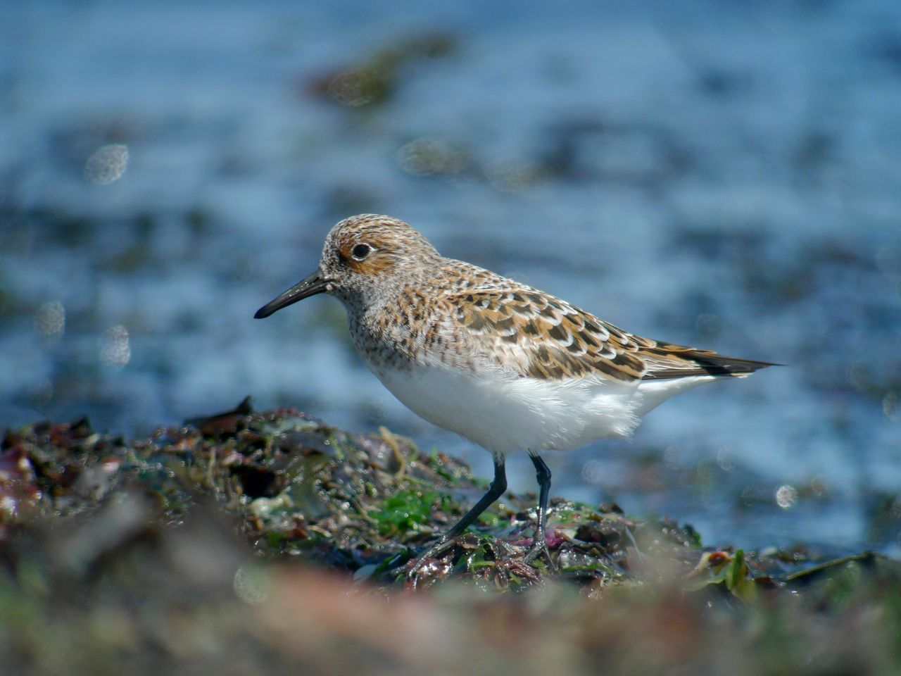 BECASSEAU_SANDERLING1120898.jpg