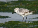 BECASSEAU-SANDERLING0038