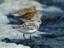 BECASSEAU SANDERLING1120553