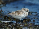 BECASSEAU SANDERLING1120615