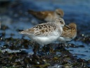 BECASSEAU SANDERLING1120618