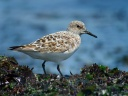 BECASSEAU SANDERLING1120881