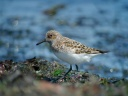 BECASSEAU SANDERLING1120898