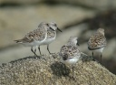 BECASSEAU SANDERLING1130028