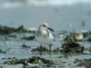 BECASSEAU SANDERLING1130147
