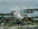 BECASSEAU SANDERLING1130148