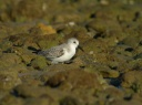 BECASSEAU SANDERLING1220833