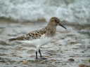 BECASSEAU SANDERLING3661