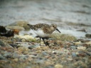 BECASSEAU SANDERLING3669