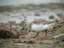 BECASSEAU SANDERLING3680