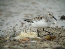BECASSEAU SANDERLING3683