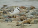 BECASSEAU SANDERLING3691