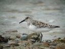 BECASSEAU SANDERLING3698