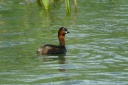 GREBE CASTAGNEUX1260625