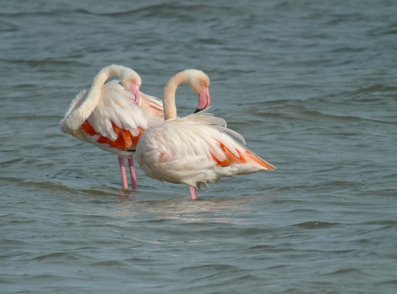 FLAMANT_ROSE1290794.jpeg