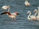 FLAMANT ROSE1290927