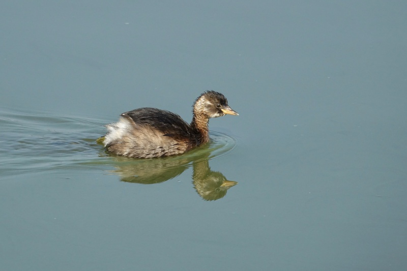 GREBE_CASTAGNEUX02191.jpeg